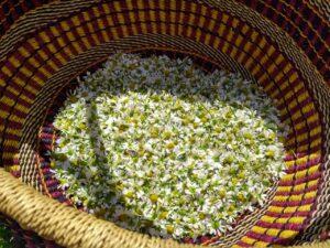 Fleurs de camomille dans un panier