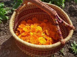 Fleurs de calendule dans un panier