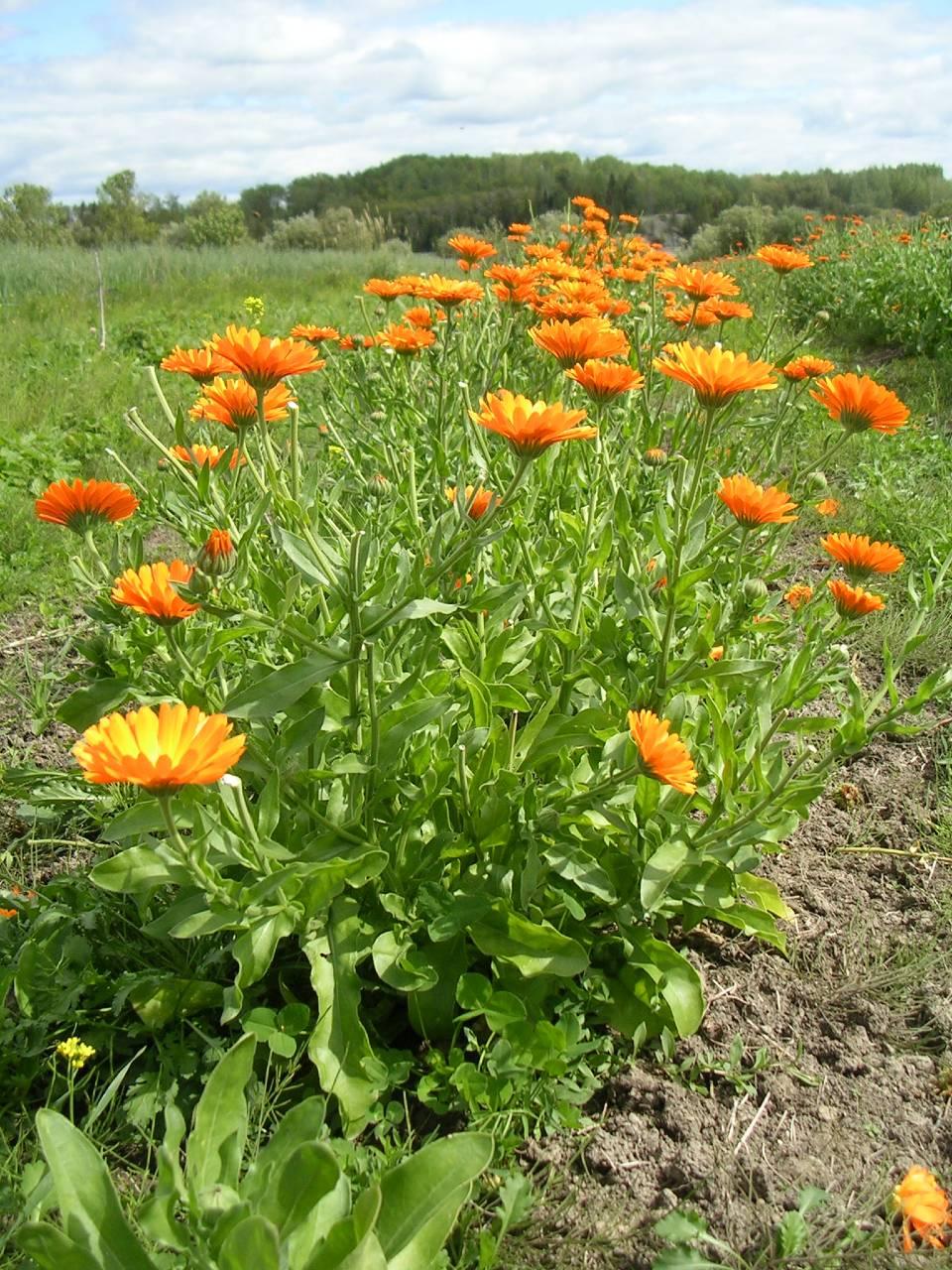 calendula field rez