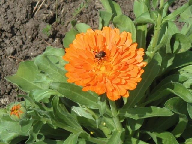 calendula flower rez 1024x908