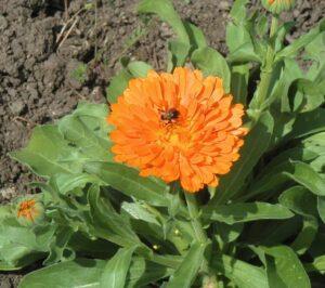 Fleurs de calendule avec abeille