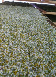 Séchage des fleurs de camomille