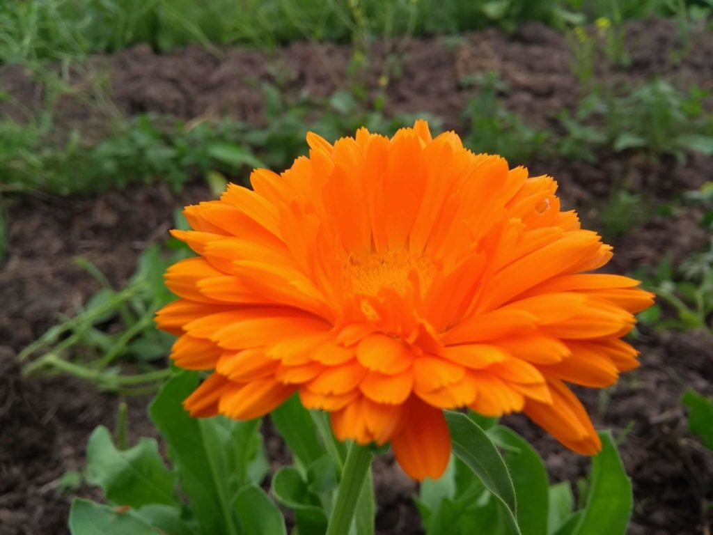 Calendule (Vrac) (Calendula Officinalis)- Fleurs - Achat, Bienfaits